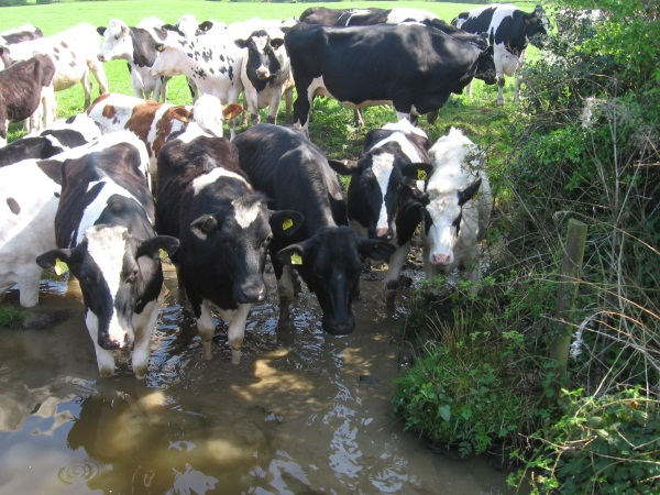 Cows standing in water at edge of canal