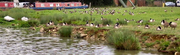 Loads of Canada geese in the fields