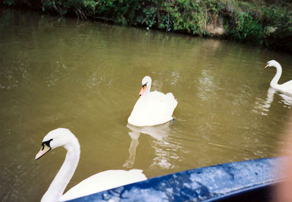 More swans